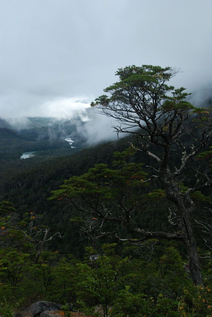 Old growth coihue tree towers over a new growth forest | from The Bicycle Nomad http://bicyclenomad.com/2012/03/15/chile-villa-santa-lucia-to-villa-ohiggins-protests-and-hospitality-on-the-carretera-austral/