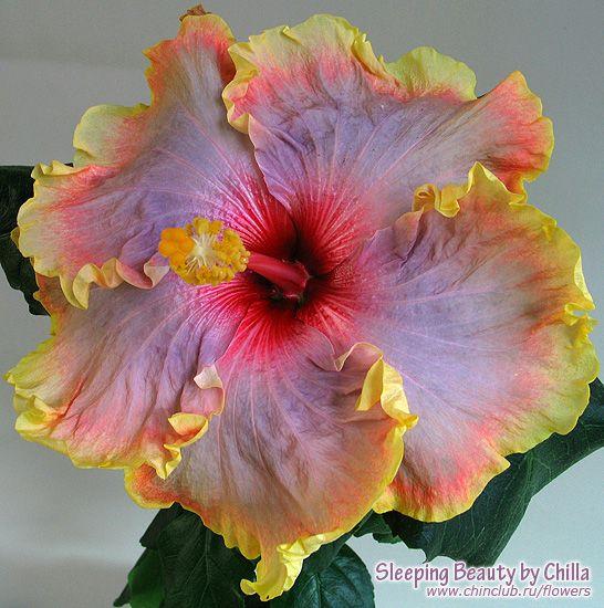 hibiscus Sleeping Beauty