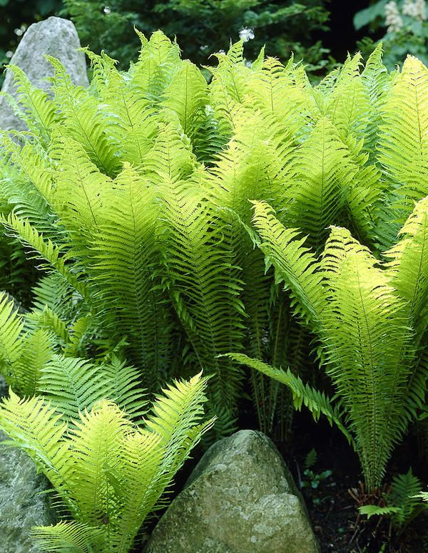 Kotkansiipi saniainen | Matteuccia struthiopteris | Ostrich Plume fern