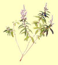 Verbena odorosa i fiori hanno sentore di limone, ottimo il tè e nei dolci