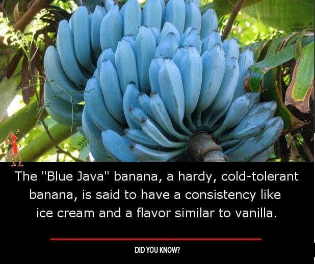 Pin By Shruti Kapil On Amazing Facts Banana Banana Ice Cream Fun Facts