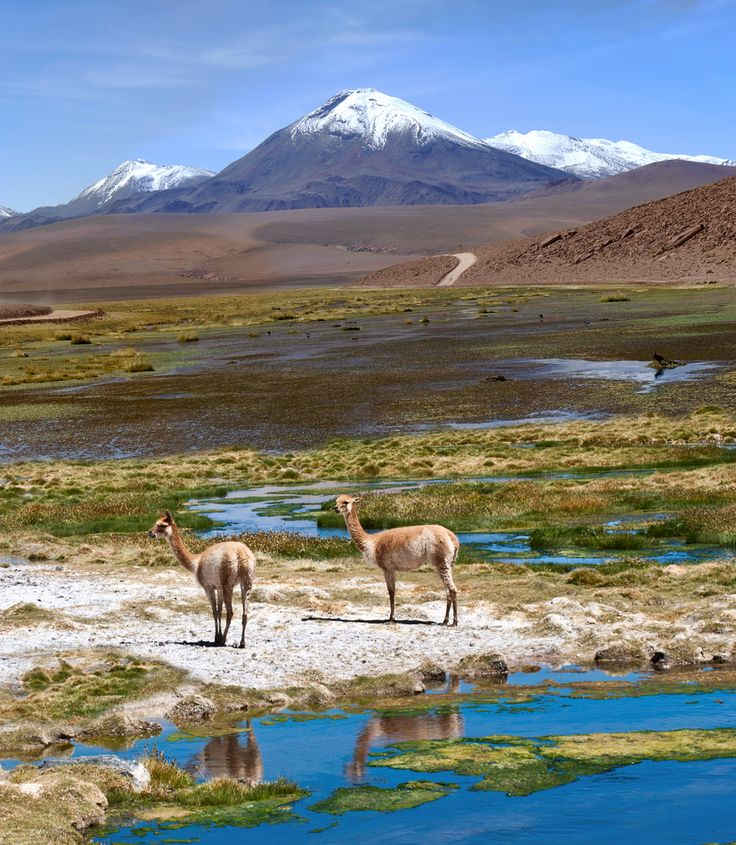 Vicunas graze in the Atacama, Volcanoes Licancabur and Juriques. Click through to win a free trip to this beautiful place in Chile