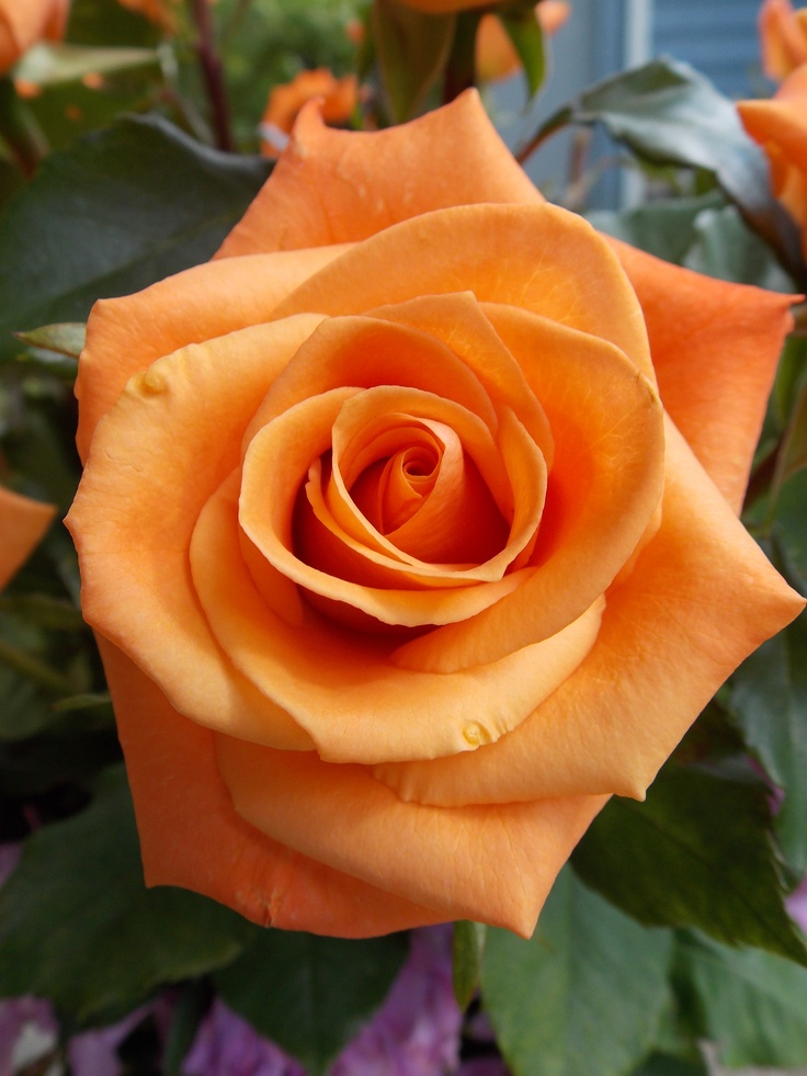 Flowers, Orange Roses, Beautiful Flowers