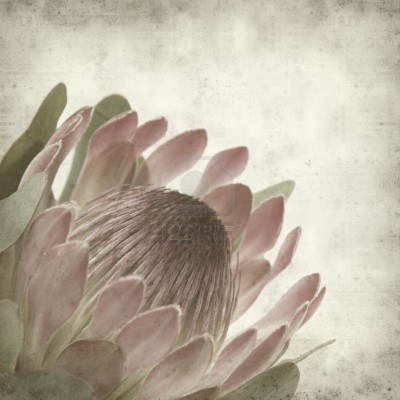 textured old paper background with pink protea sugarbush flower Stock Photo