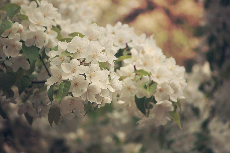 Spring blossom #flowers #pure #white #blossom