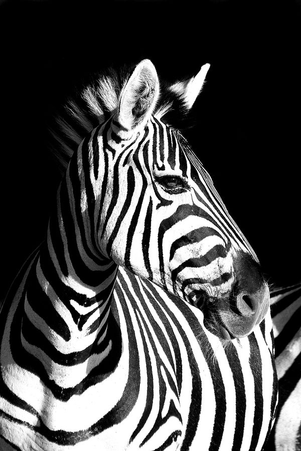 zebra in black & white  Zebra by Rudi Hulshof, via 500px
