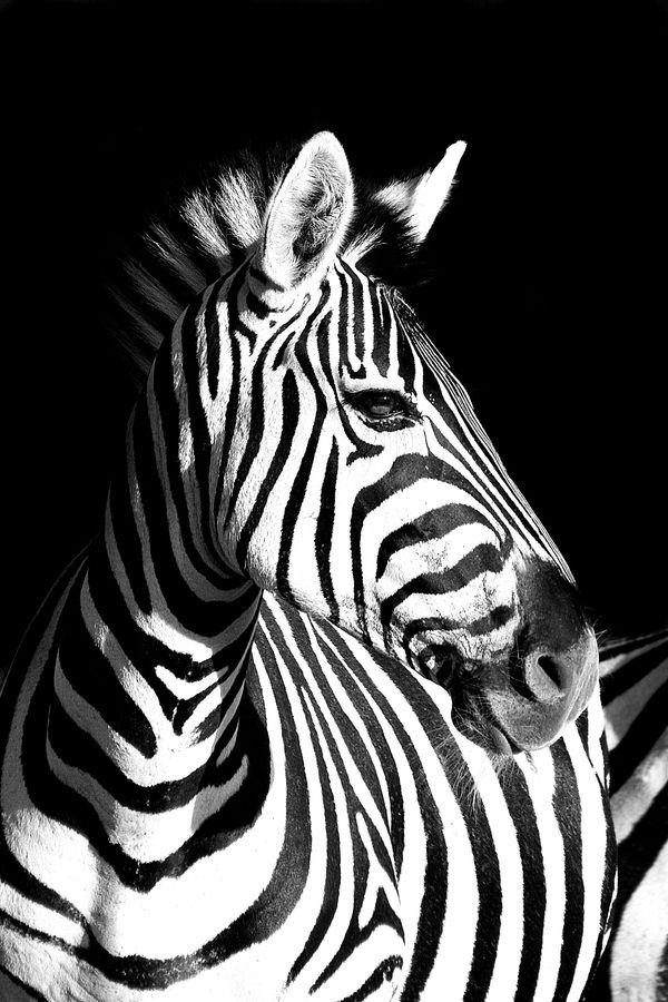 zebra in black & white  Zebra by Rudi Hulshof, via 500px