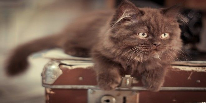 Munchkin cat breeders, tips and facts you should know