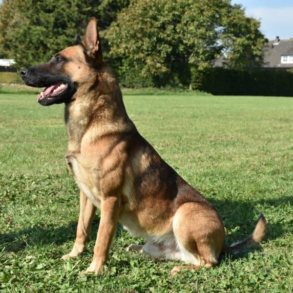 Boaz Dogs Guard Dogs For Sale Police Dogs