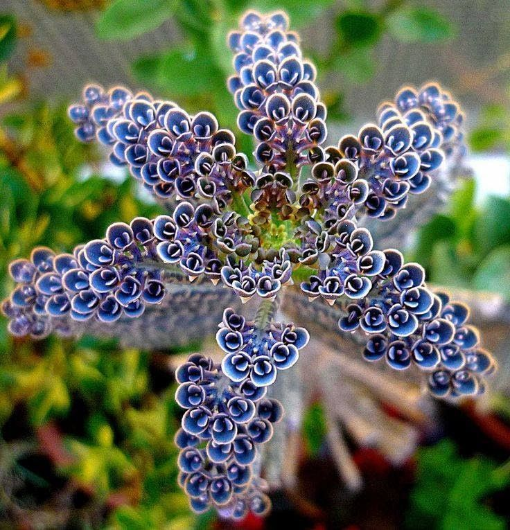"""This one is something else... it's AMAZING...  So... any guesses???  The Kalanchoe Tubiflora... Or """"Mother of Thousands""""...  The bluish flower-like """"blooms"""" are actually small plantlets that will fall off and start new plants...  Sometimes called the """"Chandelier plant"""" because of it's it's pendulous blooms...  Either way this succulent type plant is Awe-inspiring...   P.S. Beautiful and Functional..."""