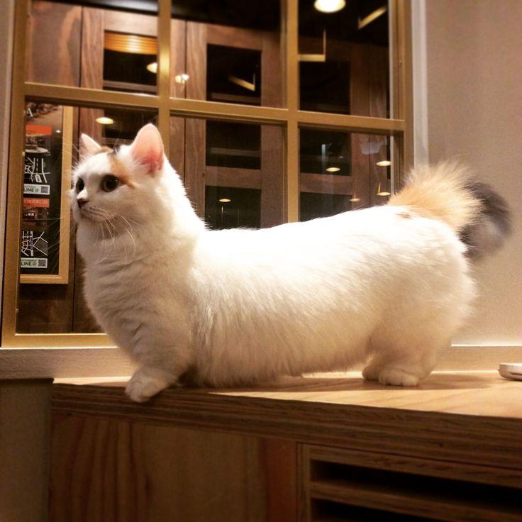 Midget cat video est bonne