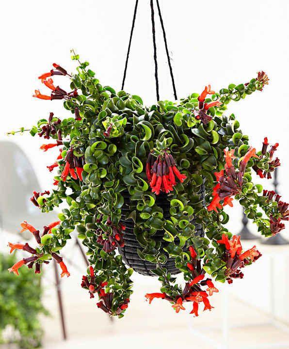 10 Plantes Retombantes d'Intérieur Indispensables à la Maison  Aeschynanthe retombante 'Rasta'