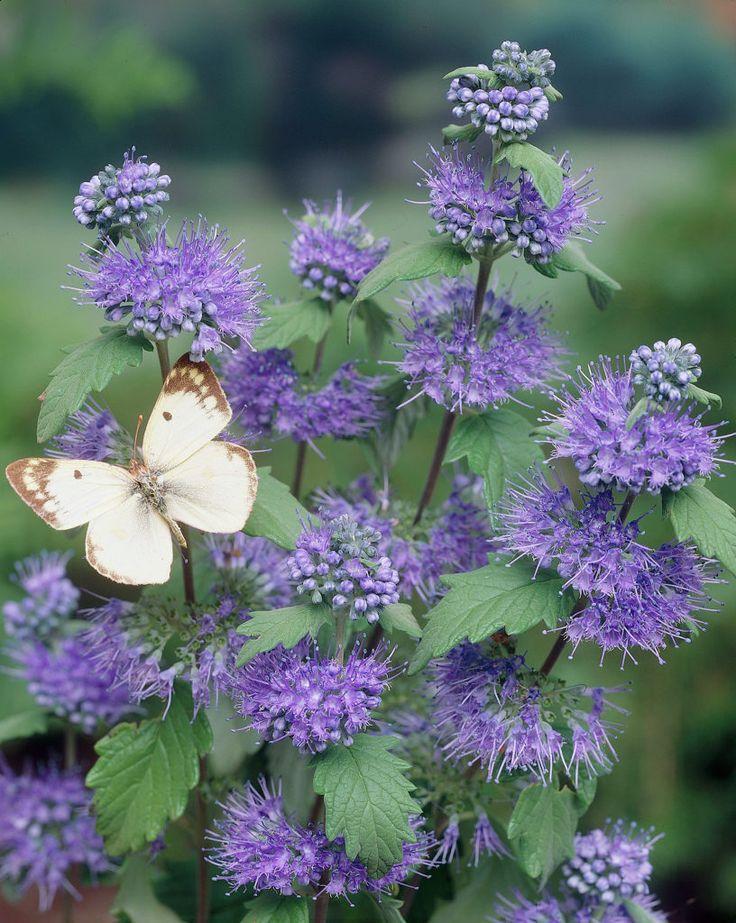 Caryopteris x clandonensis 'Heavenly Blue' opvallend blauwe violet kleurige lange bloemen welke in grote groepen meteen de aandacht trekken ook door vlinders, bijen en hommels voor de nectar.