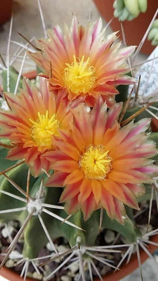 Ferocactus echidne v. rhodanthus Gilo Hidalgo Messico