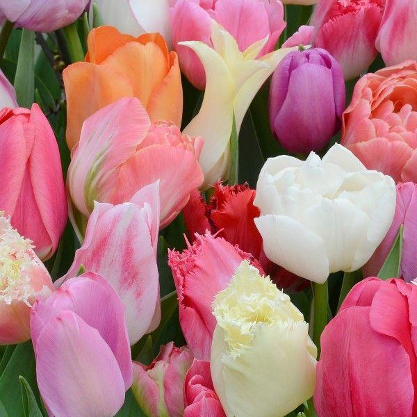 In der Tulpenmischung Tutti Tulpi Romantico' gehört jede Zwiebel zu einer anderen Sorte. 50 Zwiebeln – 50 verschiedene Sorten. Alle blühen in zarten Rosa-Tönen. Pflanzzeit ist im Herbst - online bestellbar bei www.fluwel.de