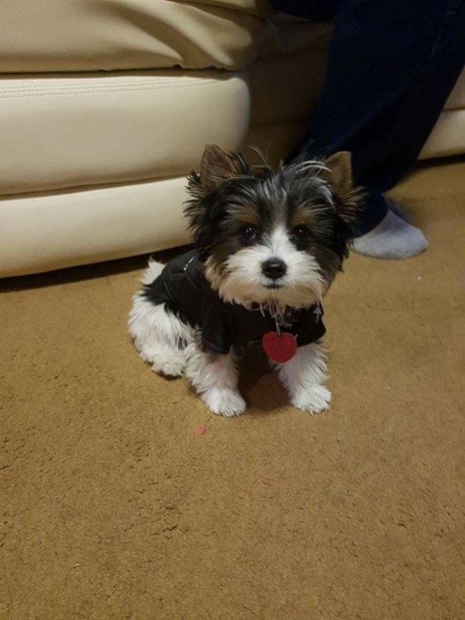 31 Pictures Of The Elegant Yorkshire Biewer Dog Biewer Yorkie Yorkie Puppy Yorkshire Terrier Puppies