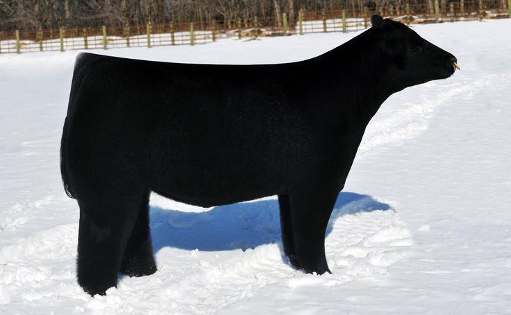 Vacas esponjosas y otras cuatro razas con encanto.