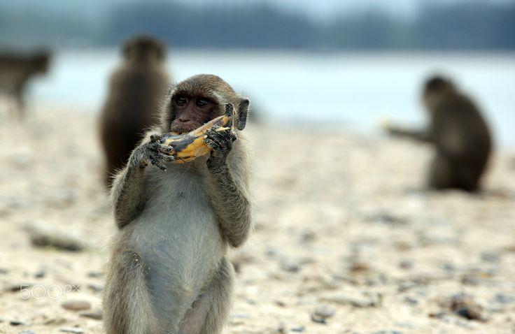ASIA THAILAND HUA HIN KHAO SAM ROI YOT - wild monkeys at a Beach at the coast of the Khao Sam Roi Yot Nationalpark on the Golf of Thailand near the Town of Hua Hin in Thailand.