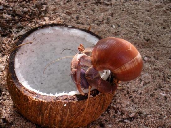 Make this natural coconut treat for your pet crab to climb and eat! #DIY - PetDIYs.com