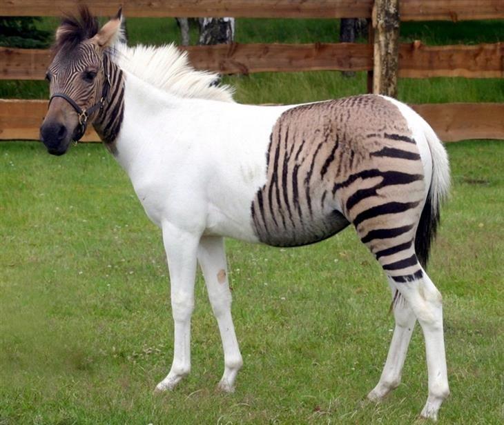 Um zebroide, resultado de um cruzamento de um pônei com uma zebra.