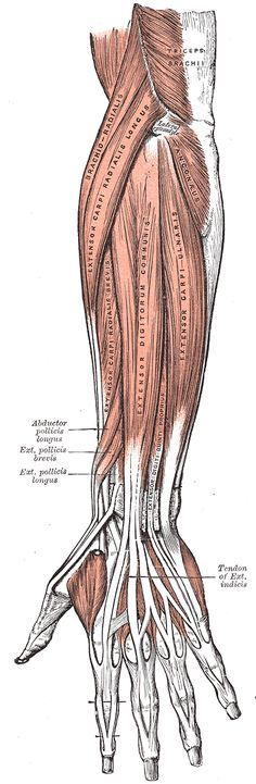 Gray's Anatomy - Posterior surface of the forearm. Superficial muscles.