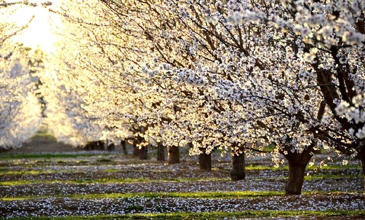 Fresno, CA - Blossom Trail