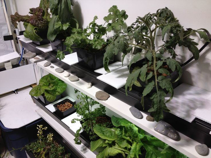 NFT hydroponic greens and a tomato