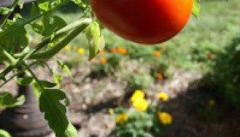 Guide to Growing Better Boy Tomatoes