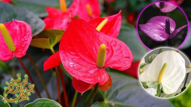 Pin By Qahtanadnaeef On نباتات منزلية Anthurium Plants Flowers