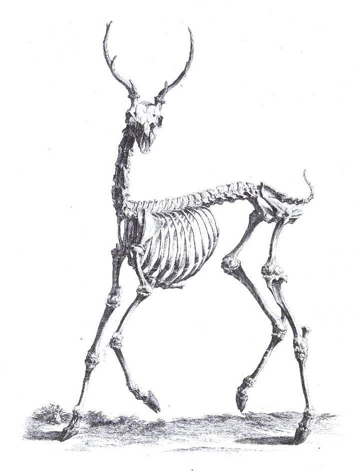 Animal - Deer - Skeleton