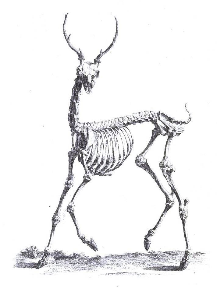 the Skeleton Stag | Skelestag | Pinterest | Search, The ...