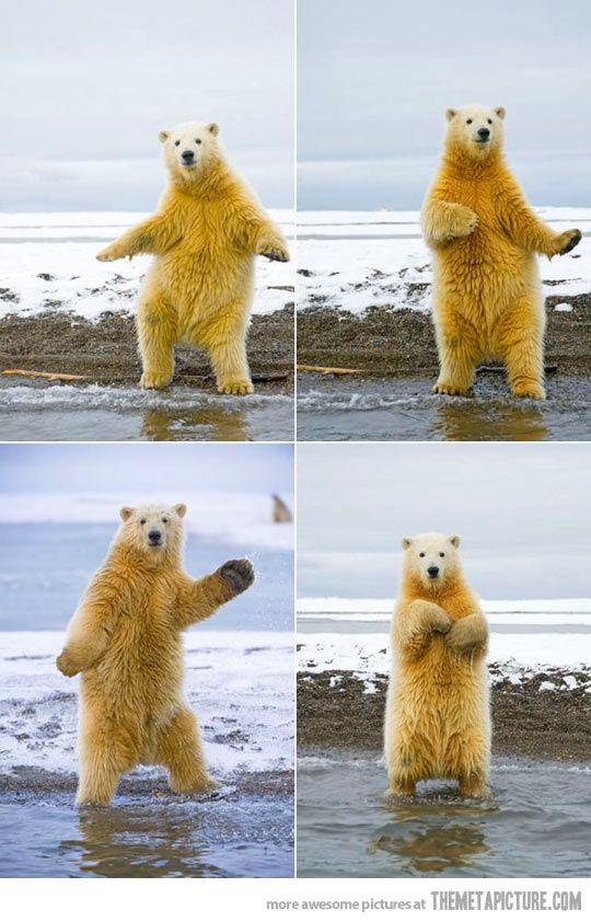 This polar bear can dance…