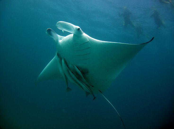 Manta Ray West Australia Coral Bay