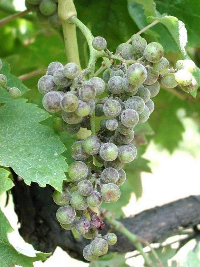 Эффективные меры борьбы с мучнистой росой на плодовых культурах                          Мучнистая роса на винограде