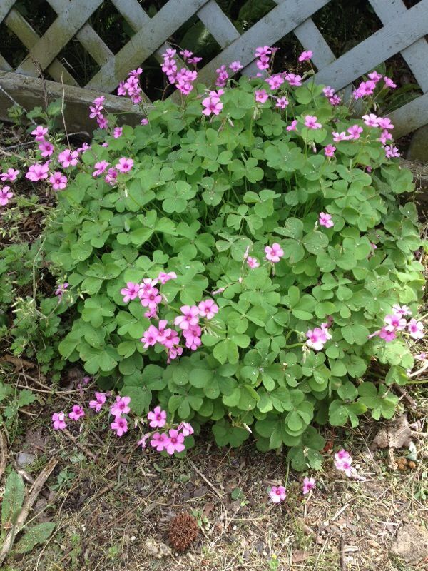 Pink Wood Sorrel (oxalis rubra): This appears to be one of the wildflower/weed group known as wood sorrels, Oxalis. Plants thrive almost anywhere and can become pesky in garden beds and lawns. Beautiful, though, in the right place.