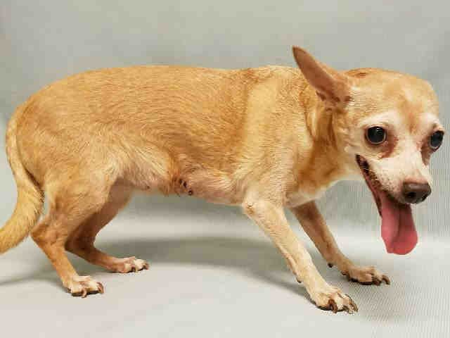 1/6/17- ‼️SICK SENIOR‼- THIS DOG IS IN PAIN- VET BILLS PAID IF YOU FOSTER️ - Super Urgent Manhattan - ROSITA - #A1100849 - FEMALE TAN/WHITE CHIHUAHUA SH MIX, 12 Yrs- STRAY - NO HOLD Intake Condition ILLNESS - Intake 01/02/17 Due Out 01/05/17 - MAMMARY GLAND MASS, ULCERATED AND SEROSANGUINOUS DISCHARGE, SWOLLEN VULVA,  HEART DISEASE