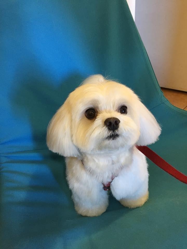 Aquí tenemos a Ringo, ha salido tan blanco y tan reluciente que va a llamar la atención por la calle. #txarruamascotas  . #bichonmaltes  #perros #adiestramientocanino #adiestramiento #peluqueriacanina #getxo #bizkaia #adiestramientocachorros #piensos #bilbao #adiestramientobilbao #mascotas #cachorros
