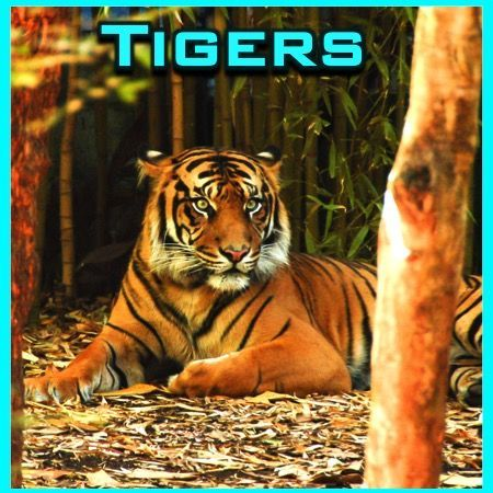 Tigers PowerPoint and Activities:  Learn all about tigers in this interactive PPT presentation. This nonfiction resource about the big cat is full of information, photos, illustrations, videos, riddles, and fun facts. It�s designed for teachers, students, and parents! When it's over, challenge the kids with some higher level thinking activities. By Ryan Nygren (photo by Chris Phutully at https://www.flickr.com/photos/72562013@N06/8348357375/
