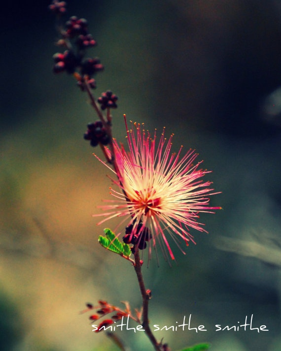 bright magenta fairy duster flower fine art nature by boots2183, $8.00