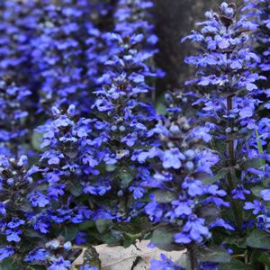 Ajuga reptans   Jungle Beauty is a dense spreading ground cover with dark foliage and deep blue flower spikes in spring and summer. Spreading it can create a dense cover ideal for rockeries and borders. It requires little watering once established. Prefers a full sun to part shade position. Ideal ...