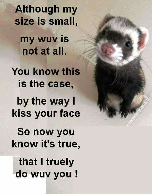 how to tell if your ferret loves you