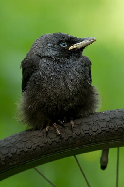 baby Eurasian Jackdaw || I don't know if I should laugh or find this strangely cute