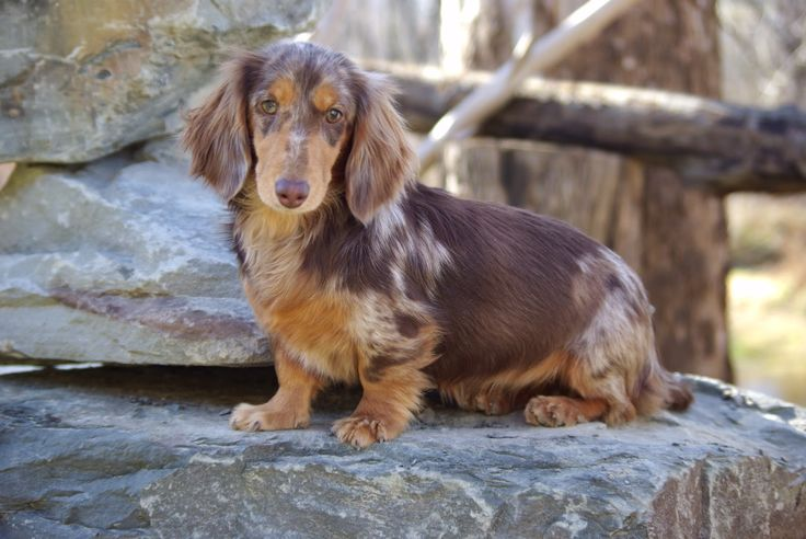 Long Haired Dapple Dachshund