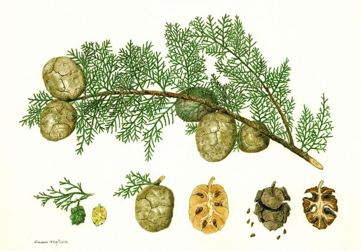 cupressus sempervirens - Поиск в Google