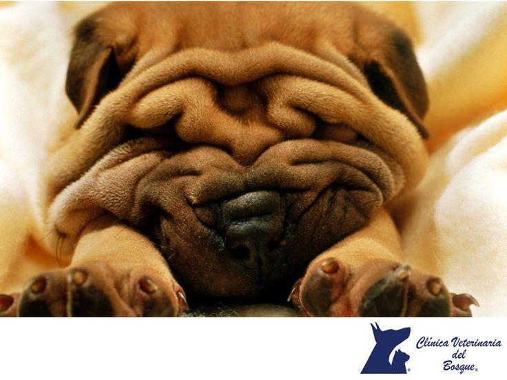 CLÍNICA VETERINARIA DEL BOSQUE. Los ronquidos en perros de las llamadas razas  braqucéfalas (chatos) puede presentar Síndrome Braquiocefálico, con nariz plana y pliegues faciales, son razas como pugs, pekineses, bulldogs, entre otros son muy comunes. Si tienes alguno, seguramente has notado que su respiración es más fuerte: lo mismo sucede con los ruidos al dormir. El paso del aire a través de su hocico se ve dificultado por su estructura ósea. Si notas que se sofoca o no puede dormir le…