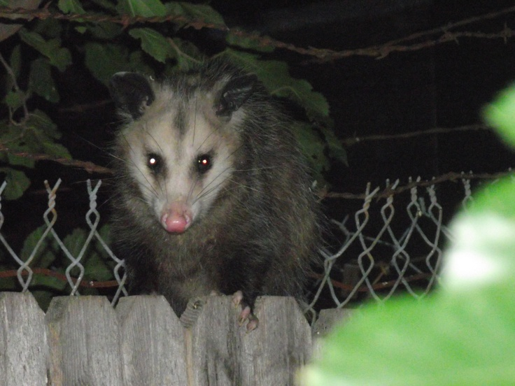 13 best awesome opossum images on pinterest opossum funny animals this possum knows he is being photographed fandeluxe Choice Image