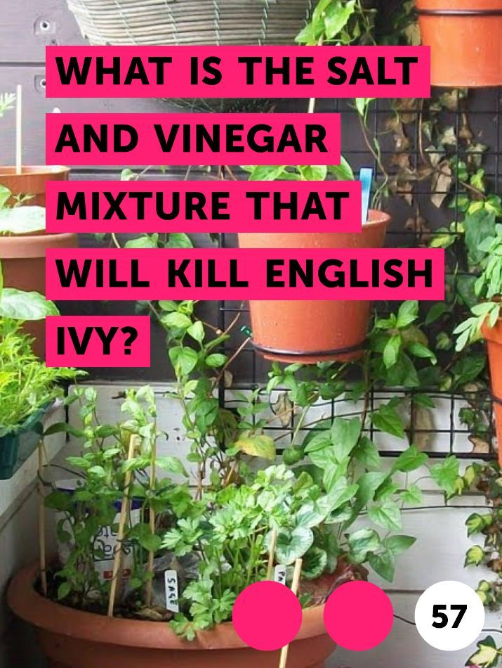 Learn What Is The Salt And Vinegar Mixture That Will Kill English Ivy How To Guides Tips And Tricks English Ivy English Ivy Plant Ivy