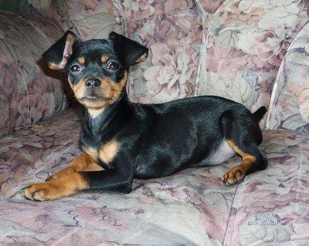 Miniature Doberman Pinscher Dog, Dogs, Pictures, Photos, Pics, Images ...