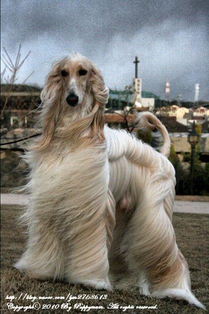 elegant Afghan Hound #Puppy #Dogs