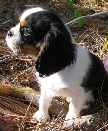 17 Best Ideas About Cavalier King Charles On Pinterest